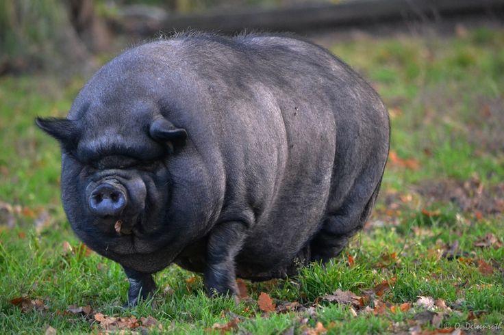 Das Hängebauchschwein von Oliver Deisenroth