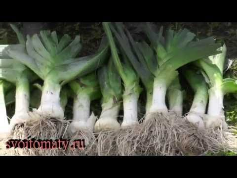 Лук-порей в грядке с садовой земляникой - YouTube