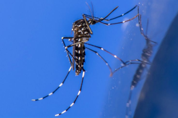 To combat the bug problem in Los Angeles, insect-control experts are releasing thousands of male mosquitoes infected with a powerful bacterium: SciAm,November 2015