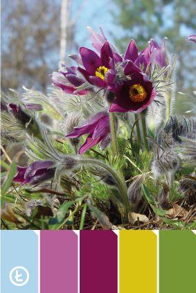 Sasanka #colours #violet #spring #palette #pasqueflower