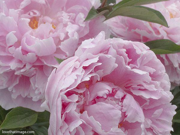 macias peônias rosa, peônias, macro close-up de peônias jardim-de-rosa