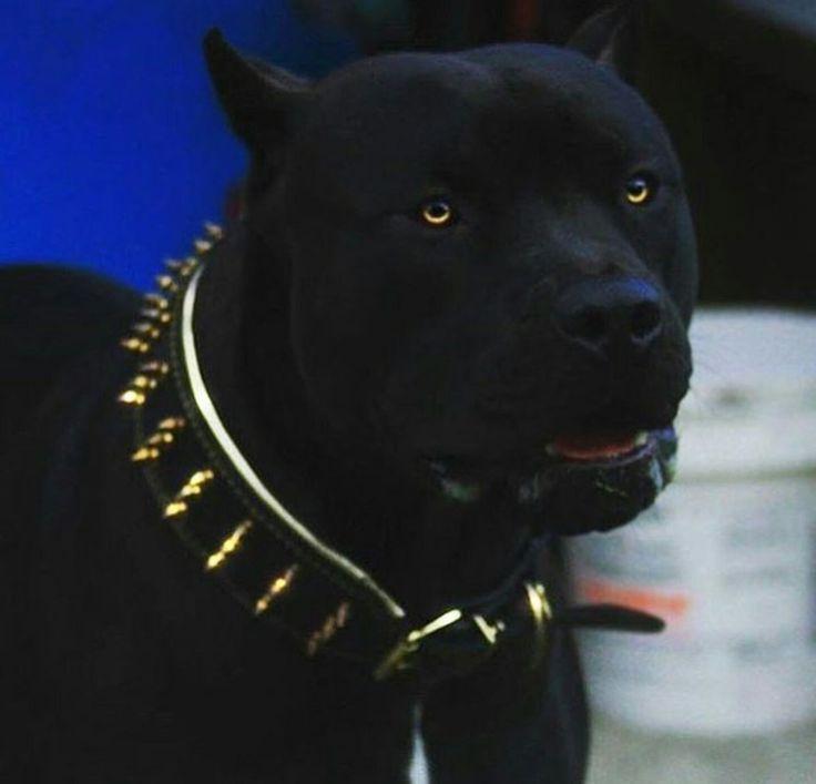 American pitbull terrier black and white