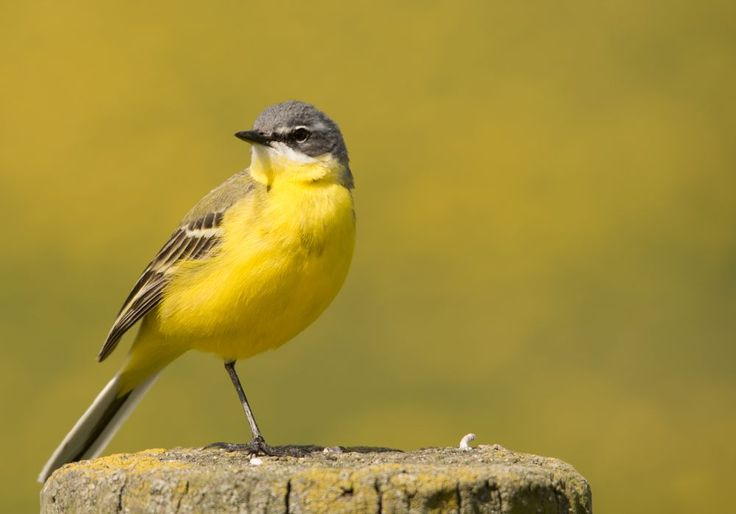Yellow wagtail by Hans Lunenborg