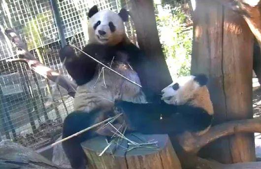 Os Pandas Gigantes realmente precisam comer bambu?