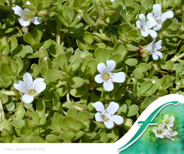 #ThrowbackThursday: Bacopa monnieri, also known as bacopa and brahmi, has a very long history of traditional use. It was cited in the religious, social and medical literature of India as long ago as around 1500 BC. #Flordis #KeenMind