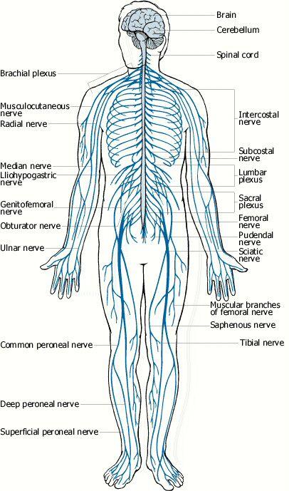 nervous system - Google Search