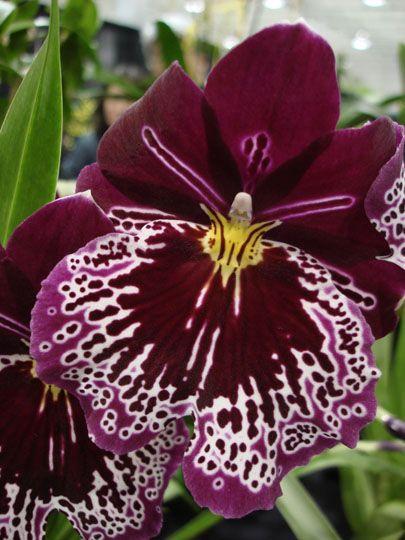 La soberana de todas las flores, Â¡preciosa!                                                                                                                                                                                 Más