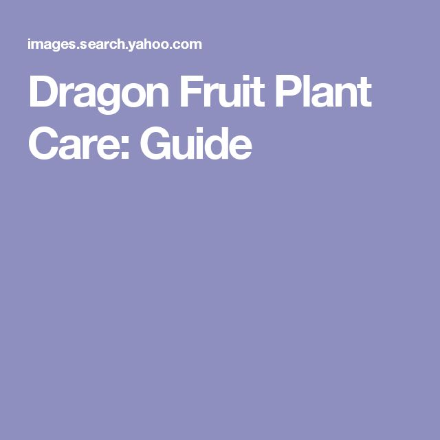 Dragon Fruit Plant Care: Guide
