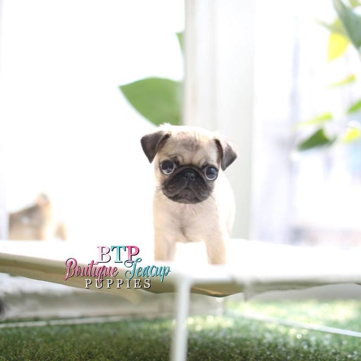 Black Pugs Puppies For Sale | Baby Pug For Sale | Boutique Teacup Puppies