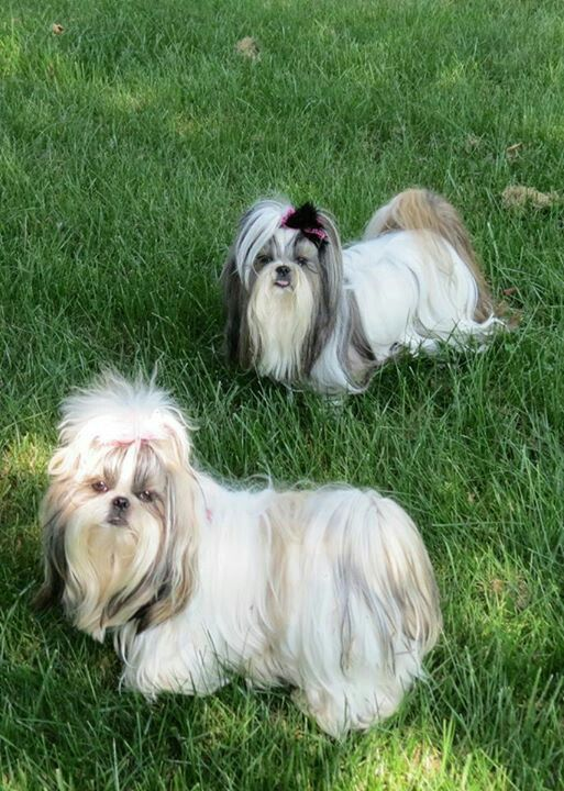 daisy patch shih tzu 135 best my shih tzu sophie images on pinterest shih 3109