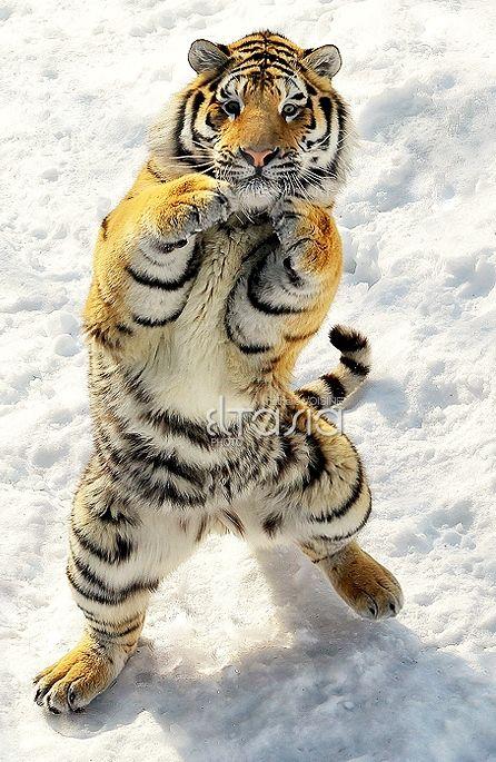 Amazing wildlife - Tiger and snow photo #tigers