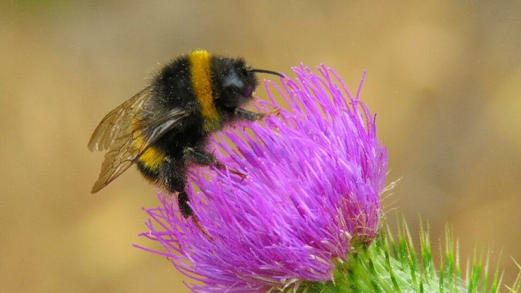 Bee and thistle, what else.