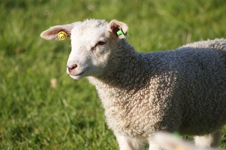 Mimo że wypasające się owce, to ostatnio coraz rzadszy widok, to nieustannie pozostaje bez wątpienia jednym z bardziej atrakcyjnych zwyczajów góralskich. Pielęgnowanie tradycji w pojedynczych regionach wciąż pełni dużą rolę. Coraz więcej jest na pewno przepisów. Ma to związek z pracą bacy i posiadania przez niego należytej koncesji.