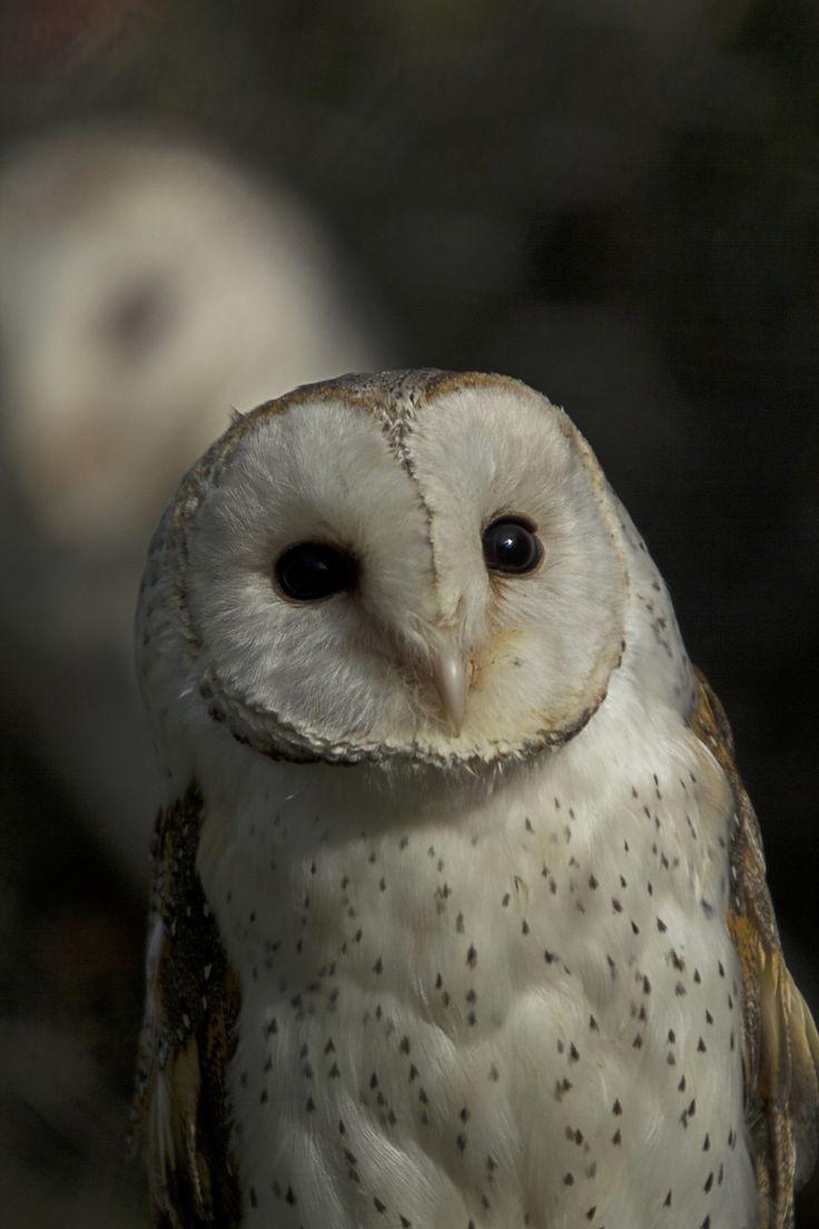 Owl 57 57 best Birds O...