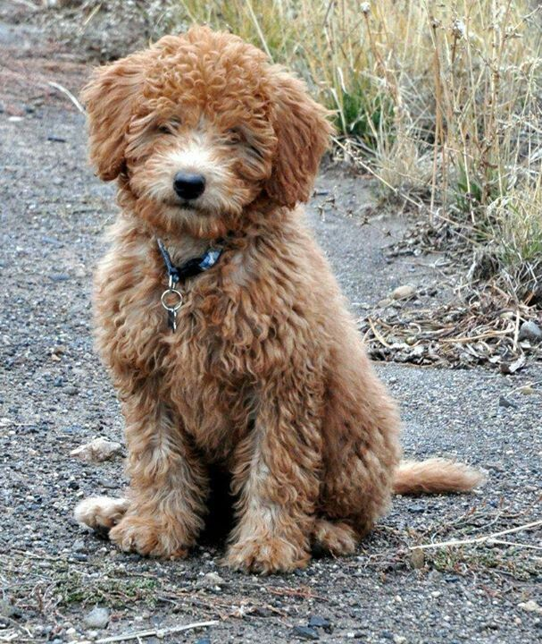 Ruby our full grown #minilabradoodle | Red MINI ...