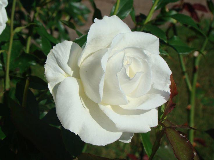 'Karen Blixen' - en ros som är riktigt kritvit och fantastiskt vacker.