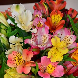 ALSTROEMERIA TALL MIXED - Garden Express