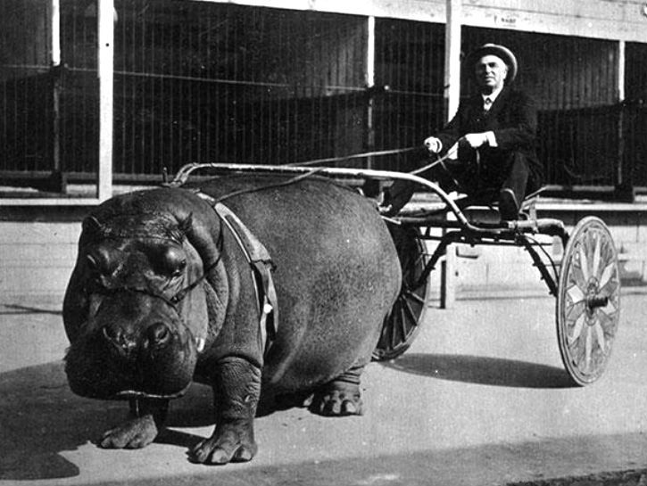 I just found this old picture of a hippo pulling a cart. 17 Bizarre Historical Images You Won't Believe Actually Happened - brainjet.com