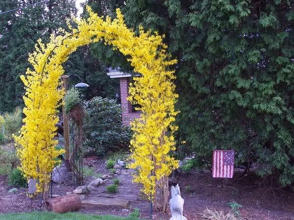 Prune forsythia into an arch