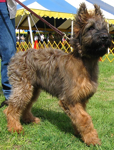 Briard with short haircut Briard dog, Herding dogs