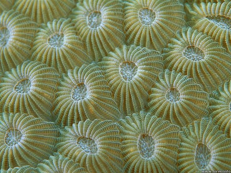 Hard Coral Polyps, Taveuni, Fiji