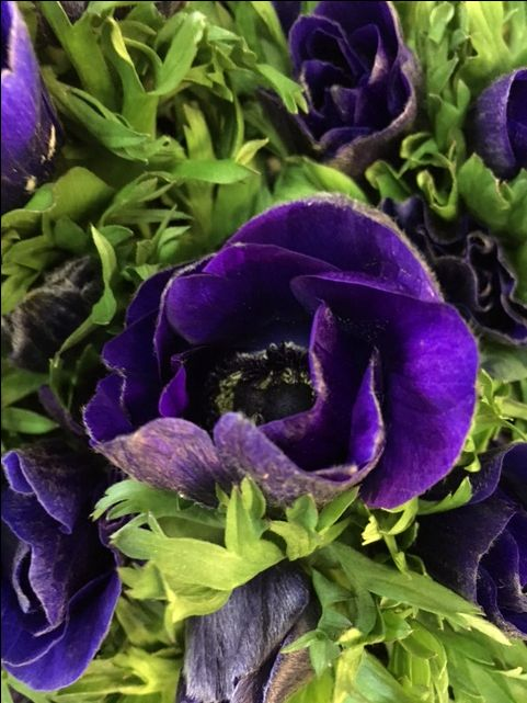 Anemone Galli Blue...Sold in bunches of 20 stems from the Flowermonger the wholesale floral home delivery service.