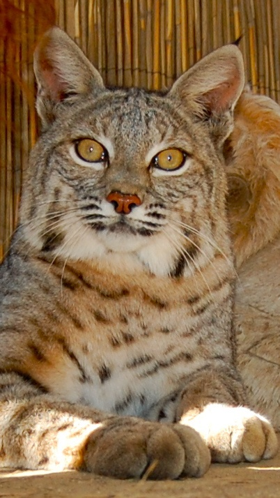 Once met a man who had Bobcat/domestic cat mix kittens for