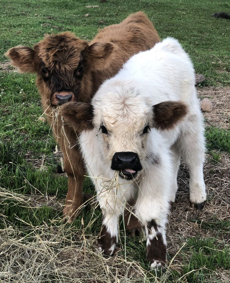 MINIATURE HIGHLAND CATTLE God's Country Ranch in 2020