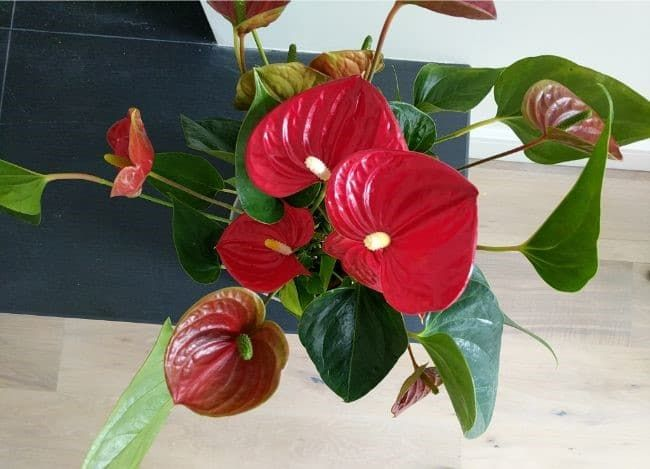 If You Find Your Anthurium Leaves Turning Yellow This Article Will Help You Find Out Why And Get Your In 2020 Anthurium Orchid Leaves Turning Yellow Anthurium Flower