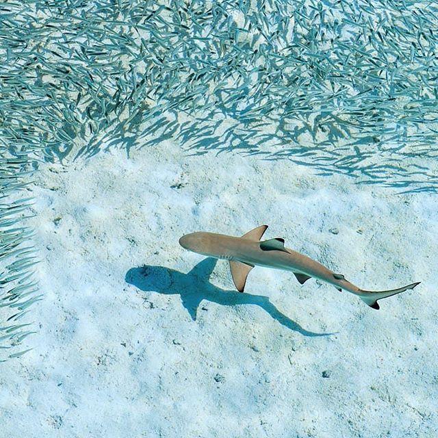 A Baby Shark Chasing On A School Of Small Fishes At Mirihi Island Lagoon Mirihiislandresort Maldives Maldivity Baby Shark Shark Maldives