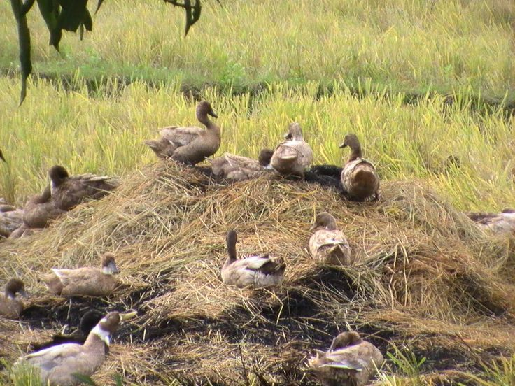 How to Raise Ducks in your Backyard