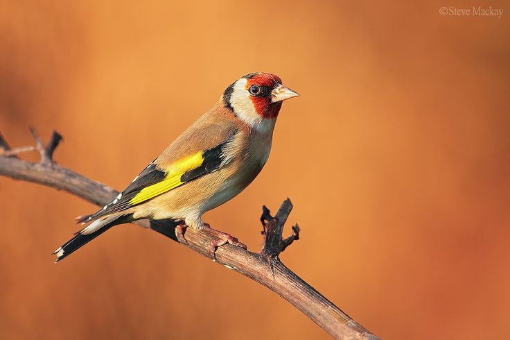 Photo Goldfinch by Steve Mackay on 500px