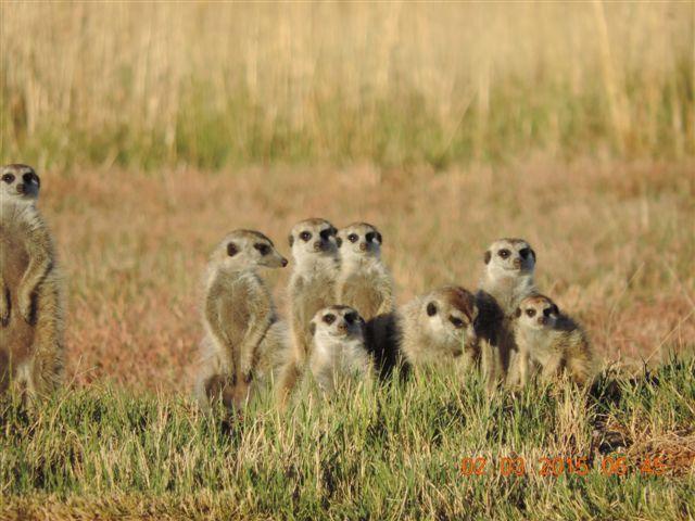 meerkat spotted