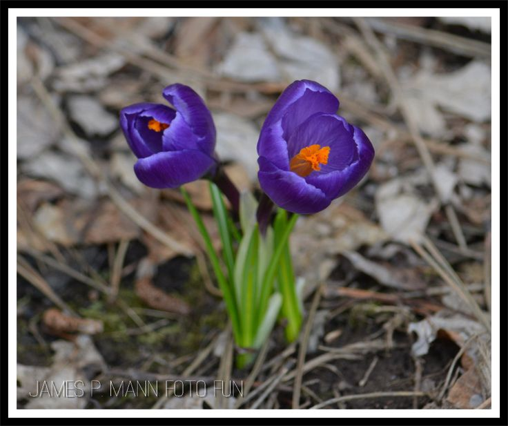 Purple crocus growing in our front yard definitely says spring has arrive in Moncton. Love it when they come up in pairs like this.