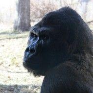Gorilla Close Up - Free High Resolution Photo