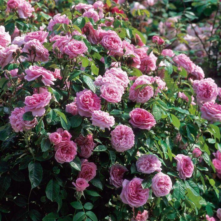 Gertrude Jekyll rosier buisson Anglais