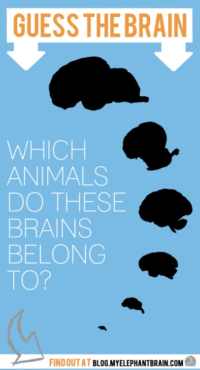 What are your guesses? Are any of them human? Get the facts on brain size vs. intelligence here: http://blog.myelephantbrain.com/post/45347804949/guess-the-brain