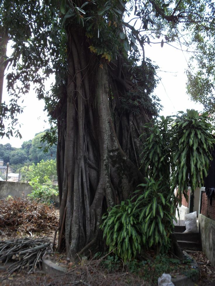 Árvore centenária.