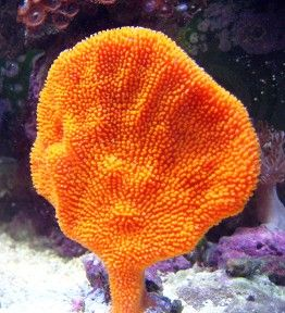 Saltwater Aquarium Live Sponges - Aquatic Connection