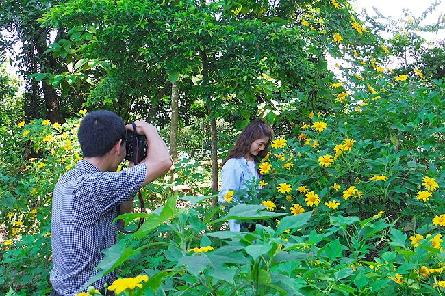Let's #contemplate #beauty of #Wild #Sunflowers #season in Ba Vi #National #Park