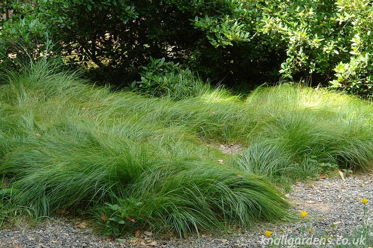 17 best images about california native landscape on for Ornamental grasses that stay green all year