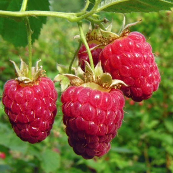 Everbearing Raspberry Organic Natural Seeds