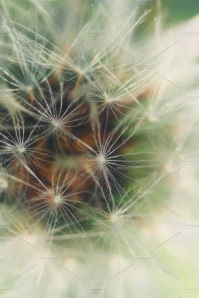 extreme close-up of dandelion by Maria Dattola Photography on @creativemarket