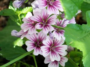 Malva sylvestris 'Zebrina' Zebrina Mallow from E.C. Brown's Nursery