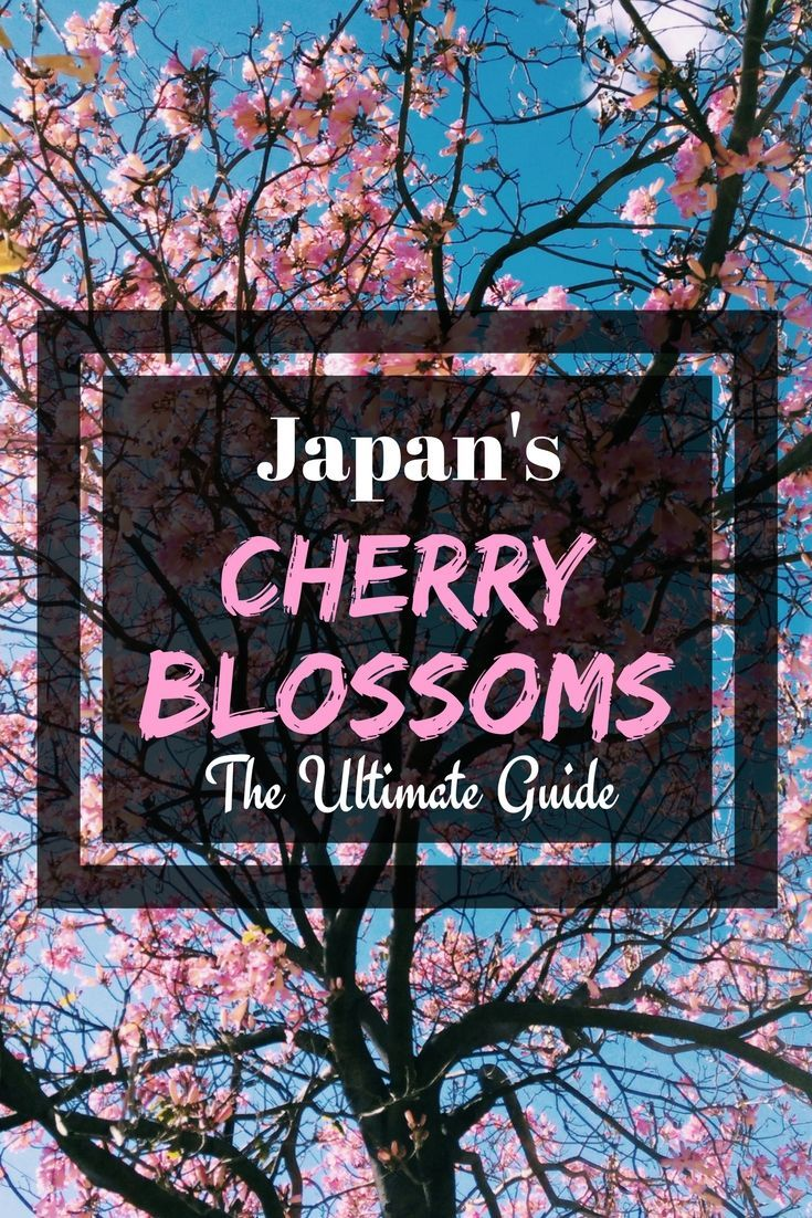Cherry Blossom In Japan The Ultimate Guide Missabroad Cherry Blossom Japan Japan Travel Guide Japan
