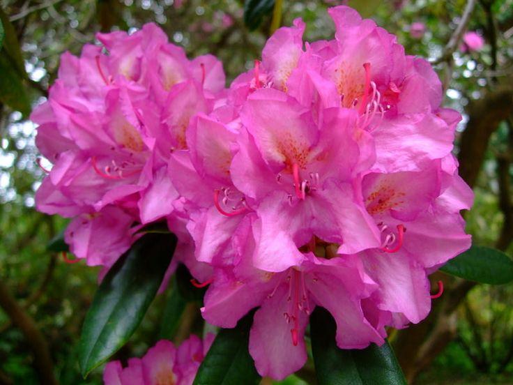 https://flic.kr/p/TsnaqP | Rhododendron | www.youtube.com/user/yewmchan/videos