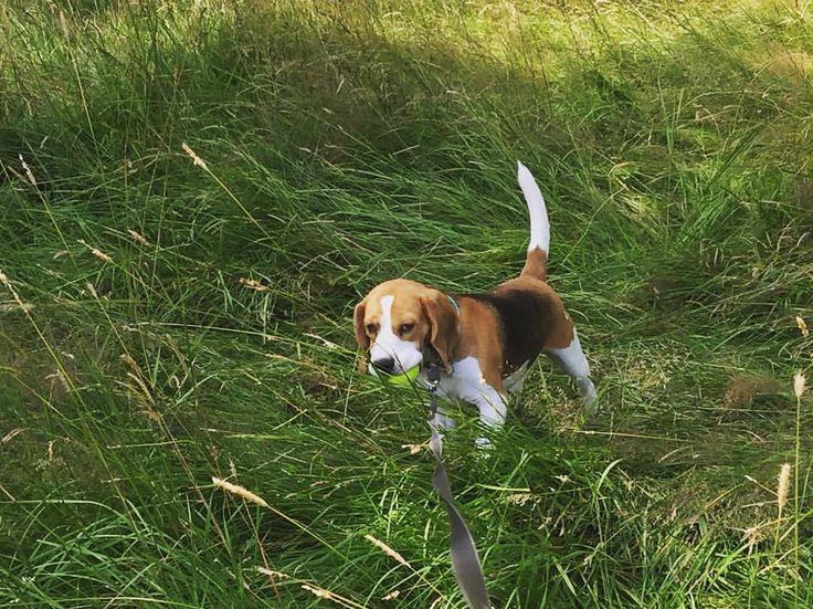 It's a beagle