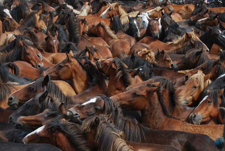 Cabalo galego