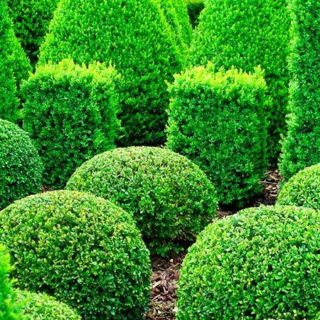 Boxwood Blight Resistant! - Cold-hardy Wintergreen Boxwood, also known as Korean Boxwood, is an incredibly versatile and popular addition to landscape design. No matter the setting, be it formal or casual, this shrub consistently exceeds expectations. Foliage is bright green when new, and darkens slightly with age. Oval...