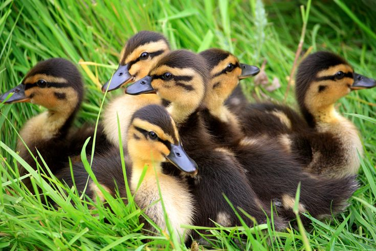 Yellow ducklings breed - photo#51